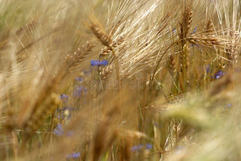 Détail de champ de blé avec le bleuet images libres de droits