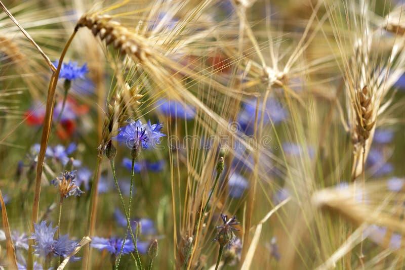 Détail de champ de blé avec le bleuet photographie stock libre de droits