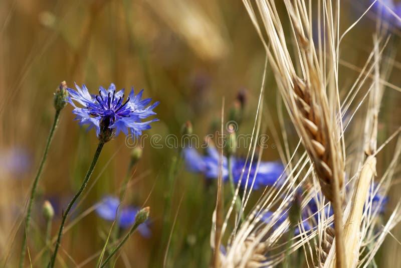 Détail de champ de blé avec le bleuet photos stock