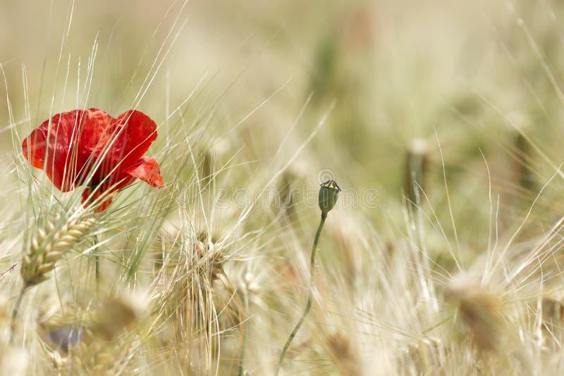 Détail de champ de blé avec le pavot et le bleuet image libre de droits