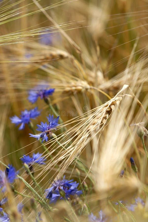 Détail de champ de blé avec le pavot et le bleuet photos stock