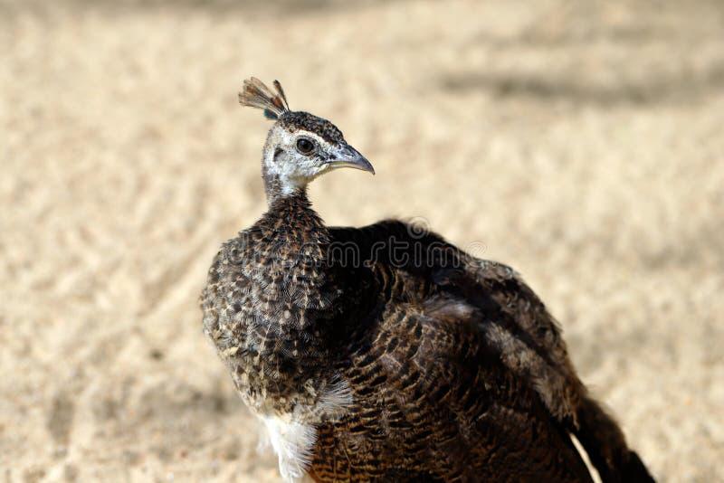 Détail de cou de cristatus de Pavo de jeune peafowl indien femelle ou de peafowl bleu photos libres de droits