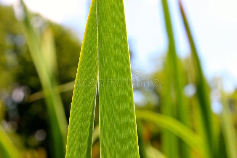 Détail de deux longues feuilles d'herbe image libre de droits