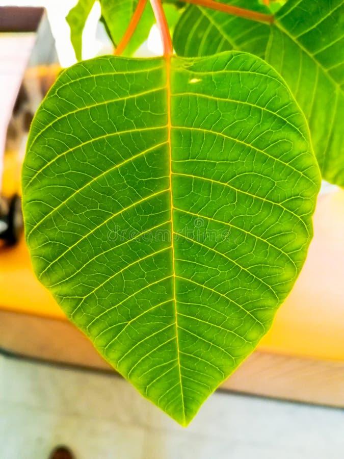 Détail de feuille d'usine de Pâques avec la lumière naturelle dans la couleur verte image stock