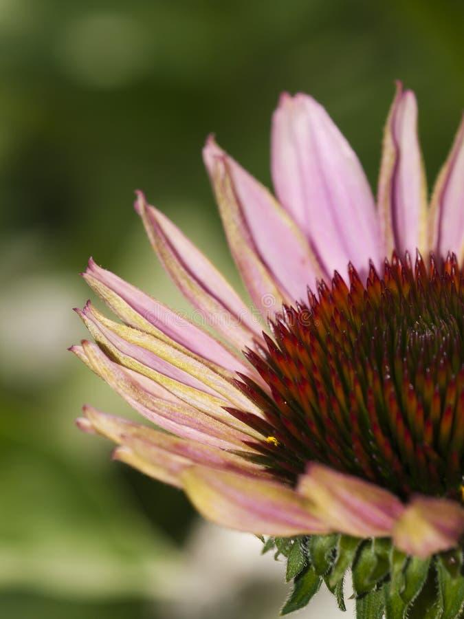 Détail de fleur image libre de droits