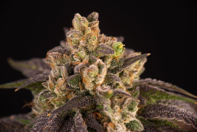 Détail de fleur de cannabis et de x28 ; Strain& x29 de marijuana de Mangolope ; avec le visi image stock