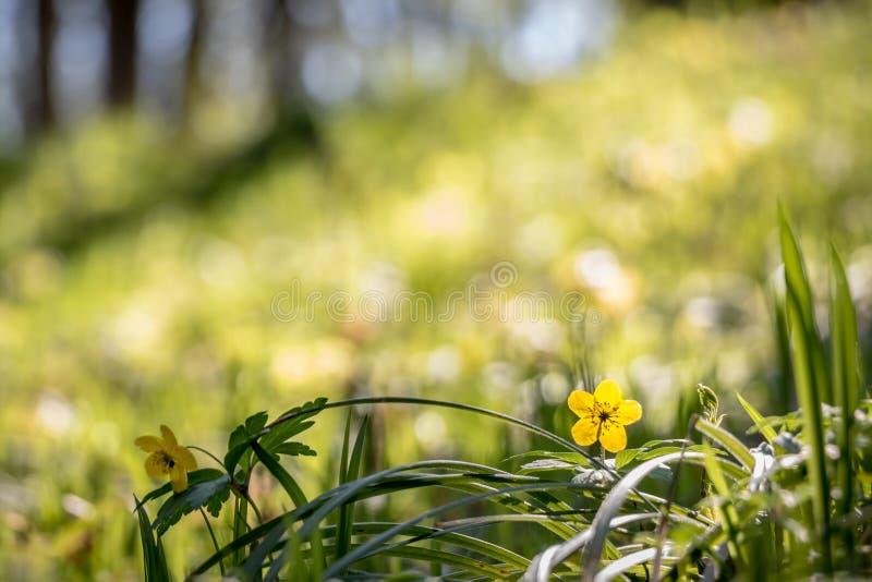 Détail de forêt jaune de fleur au printemps image stock