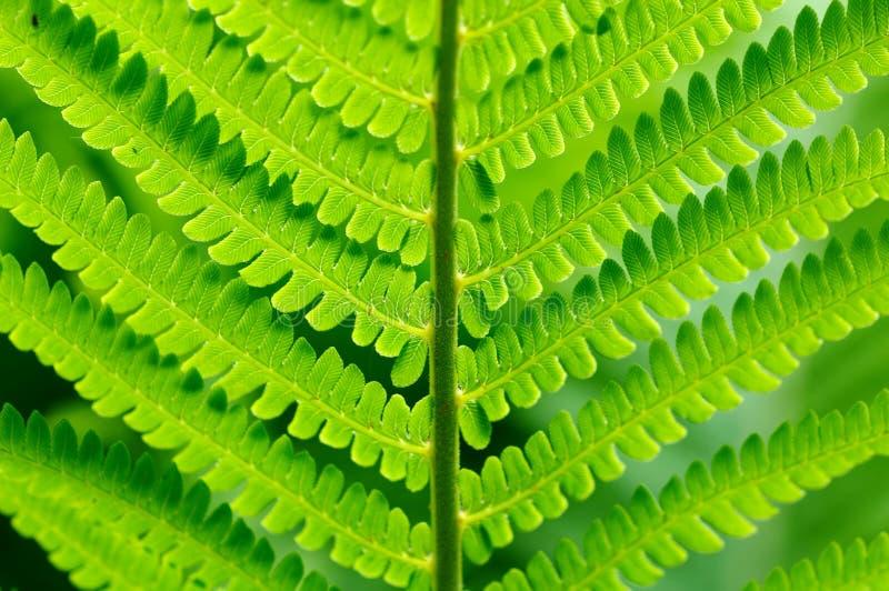 Détail de fougère verte photo stock