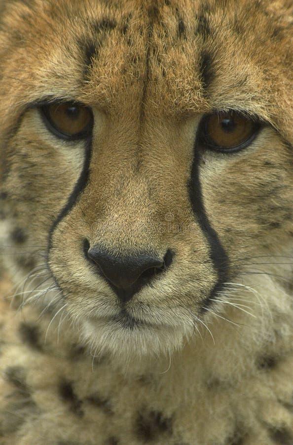Détail de guépard image libre de droits