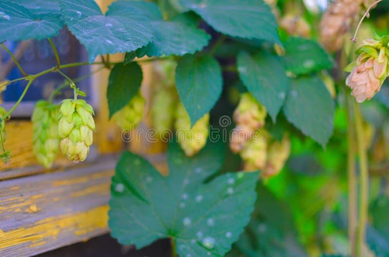 Détail de houblon en cônes dans le domaine photo stock