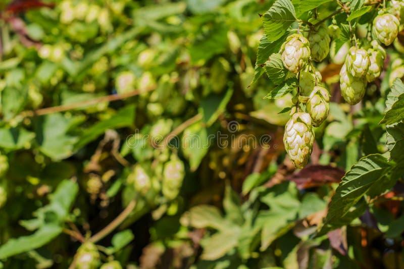 Détail de houblon en cônes vert dans le domaine d'houblon image stock