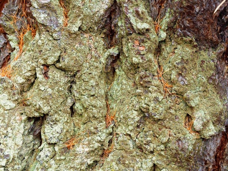 Détail de l'écorce froissée de mélèze couverte par le lichen vert photographie stock libre de droits