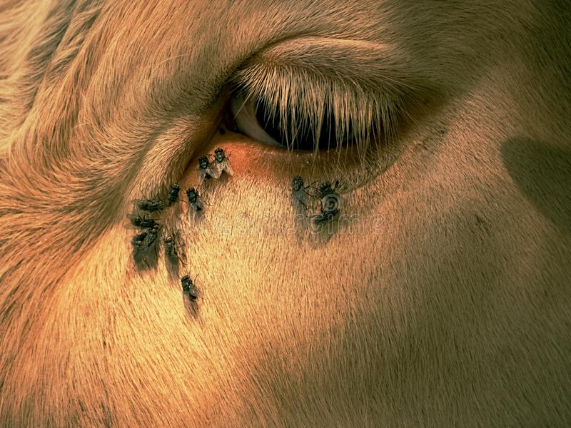 Détail de l'oeil blanc de vache avec beaucoup de mouches ennuyeux Les mouches se reposent ou fonctionnent dans l'oeil de vache So photos libres de droits