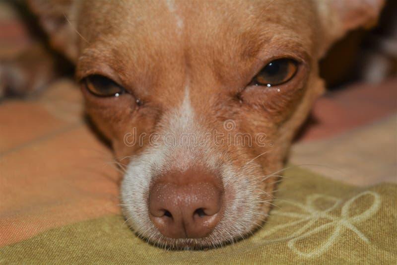 Détail de l'oeil et du nez d'un chiwawa dog3 photographie stock libre de droits