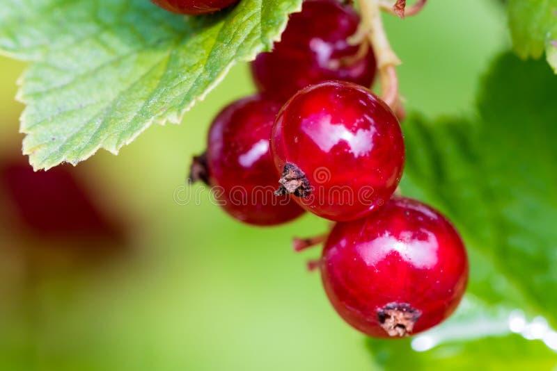 Détail de la groseille rouge mûre s'élevant sur un buisson photographie stock libre de droits