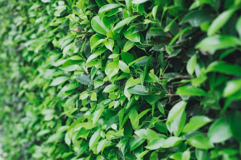 Détail de la surface des buissons verts photo libre de droits