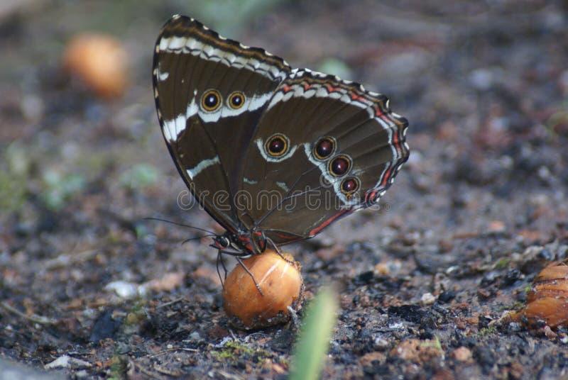 Détail de papillon de Brown photographie stock libre de droits
