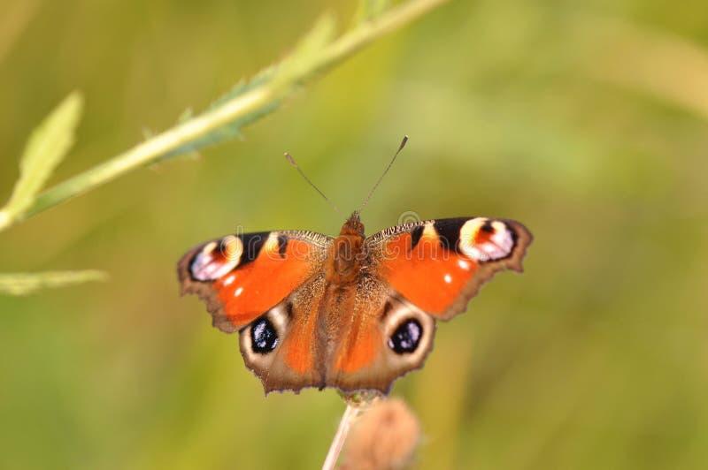 Détail de papillon de paon photographie stock