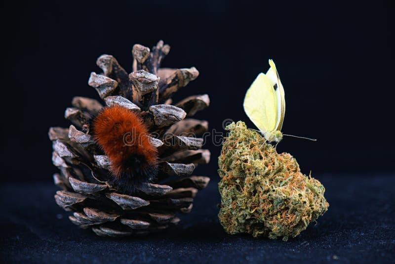 Détail de papillon se reposant sur le nug de cannabis d'isolement au-dessus du noir images stock
