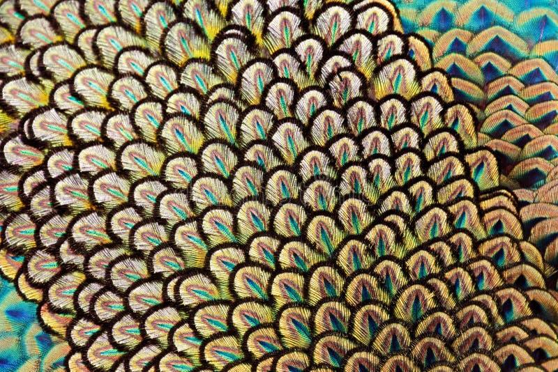 Détail de plume de peafowl vert photographie stock