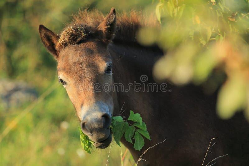 Détail de poney d'Exmoor images stock