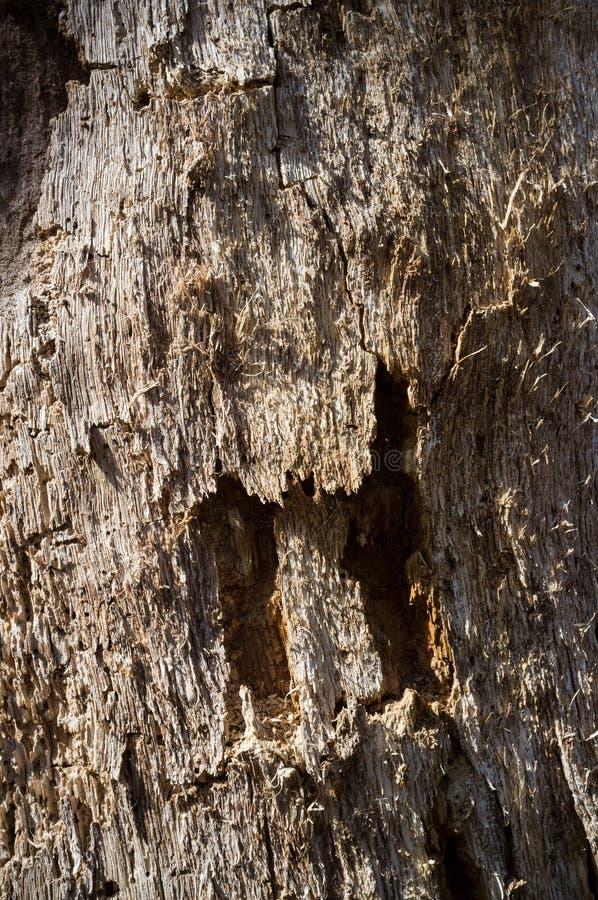 Détail de texture de cambium d'arbre images libres de droits
