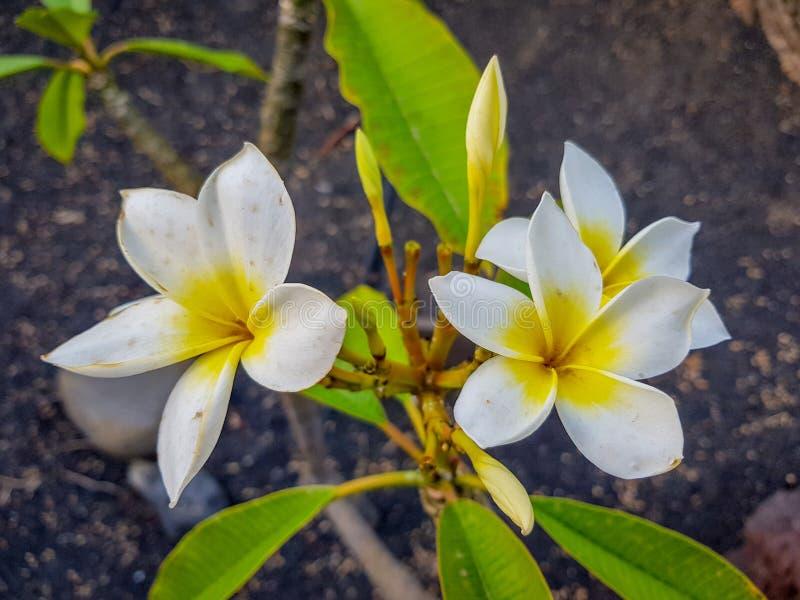détail des fleurs du Plumeria Rubra image stock