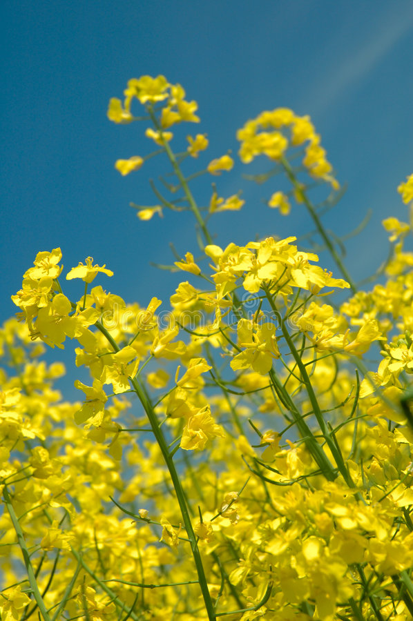 Détail des graines de colza - OGM photos stock