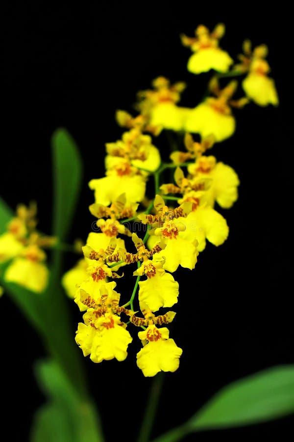 Détail des orchidées d'or blanches de douche avec le fond noir photos libres de droits