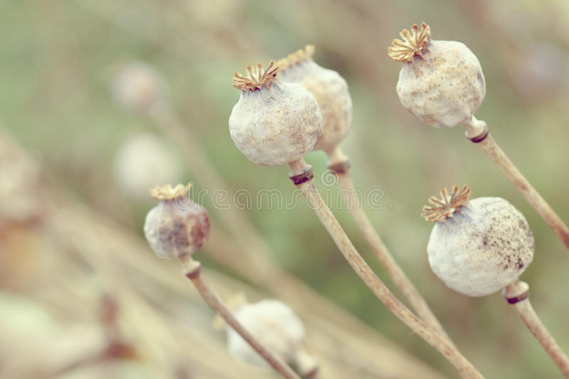 Détail des poppyheads d'arbre sur le champ photo stock