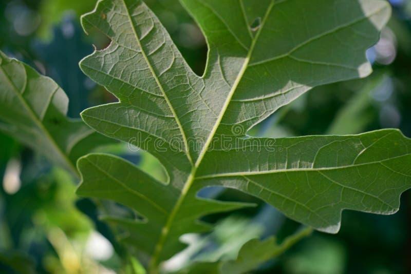 Détail du fond de la feuille de chêne de bureau (macrocarpa de quercus) photographie stock