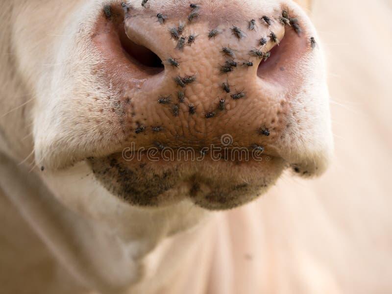 Détail du museau blanc de vache Les mouches ennuyeux se reposent ou fonctionnent sur la peau de vache Vache blanche frôlant I photographie stock