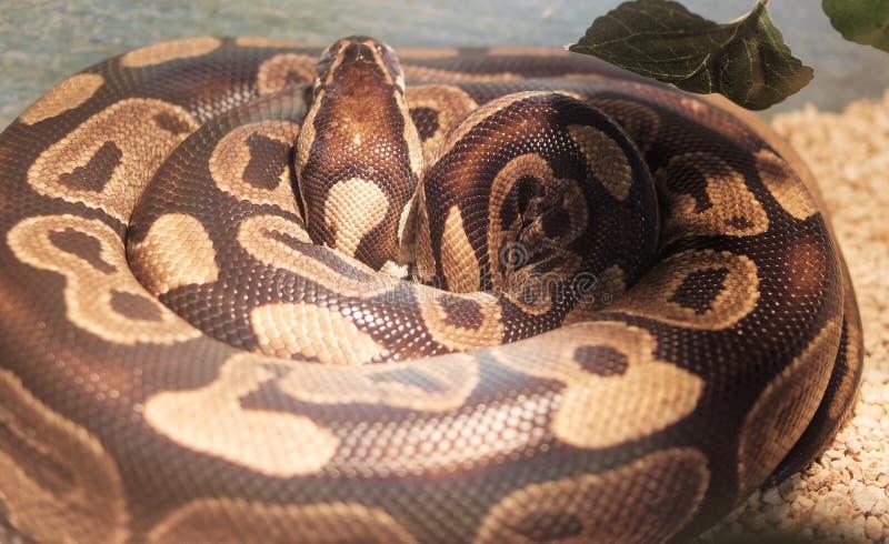 détail du python I de fondation royale photographie stock