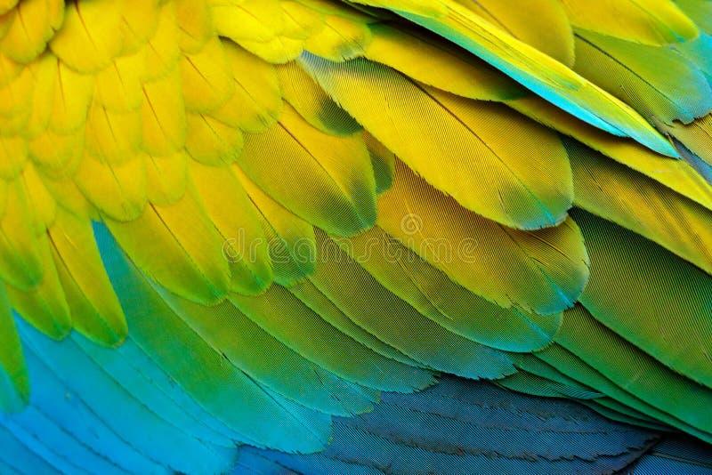 Détail en gros plan de plumage de perroquet Ara vert grand de perroquet vert, ambigua d'arums, détail de nature sauvage d'aile d' photographie stock libre de droits