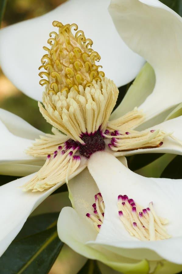 Détail grandiflora de fleur de magnolia photos stock