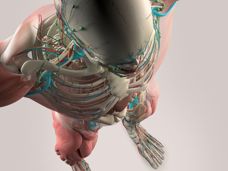 Détail humain d'anatomie de crâne et d'épaule Structure d'os, muscle illustration de vecteur