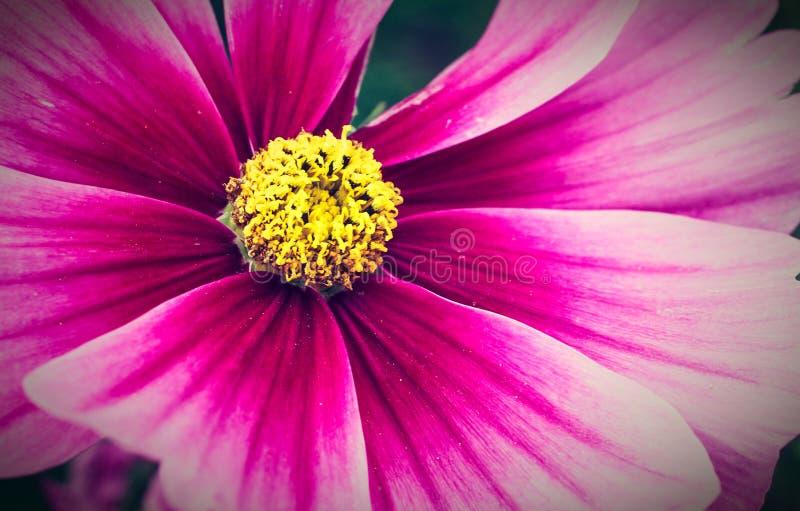 """Détail pourpre de bipinnatus de cosmos de  de Cosmos†d'""""Wild de fleur sauvage fleurissant photo de macro pendant de ressort  images libres de droits"""