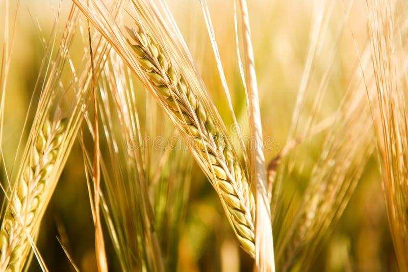 Détail principal de blé photos libres de droits
