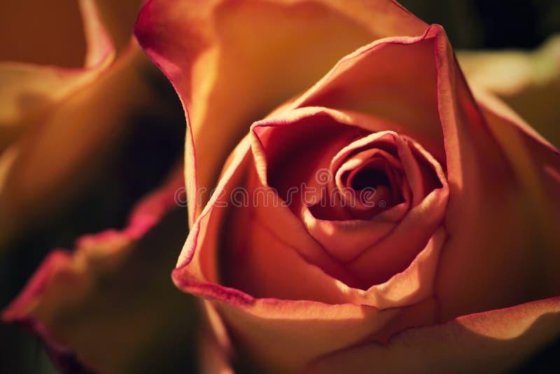 Détail rêveur d'une fleur rose photos stock