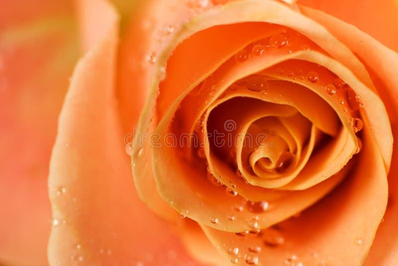 Détail rose d'orange photo libre de droits