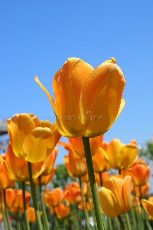 Détail rougeoyant de tulipes photo libre de droits
