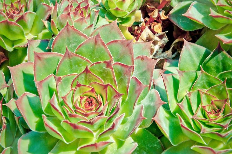 Détail succulent de fleur de Crassulaceae image libre de droits