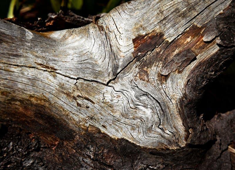 Détail sur la vieille branche de pin de montagne images stock