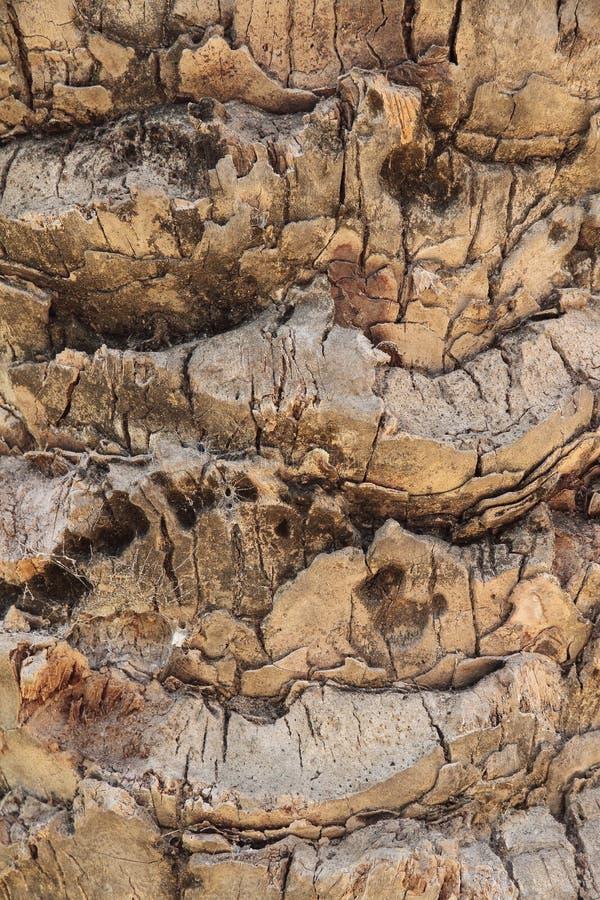Détail sur le premier plan du cortex d'un palmier photo stock