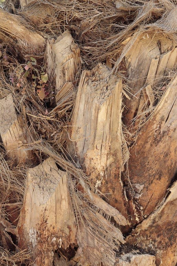 Détail sur le premier plan du cortex d'un palmier photographie stock libre de droits