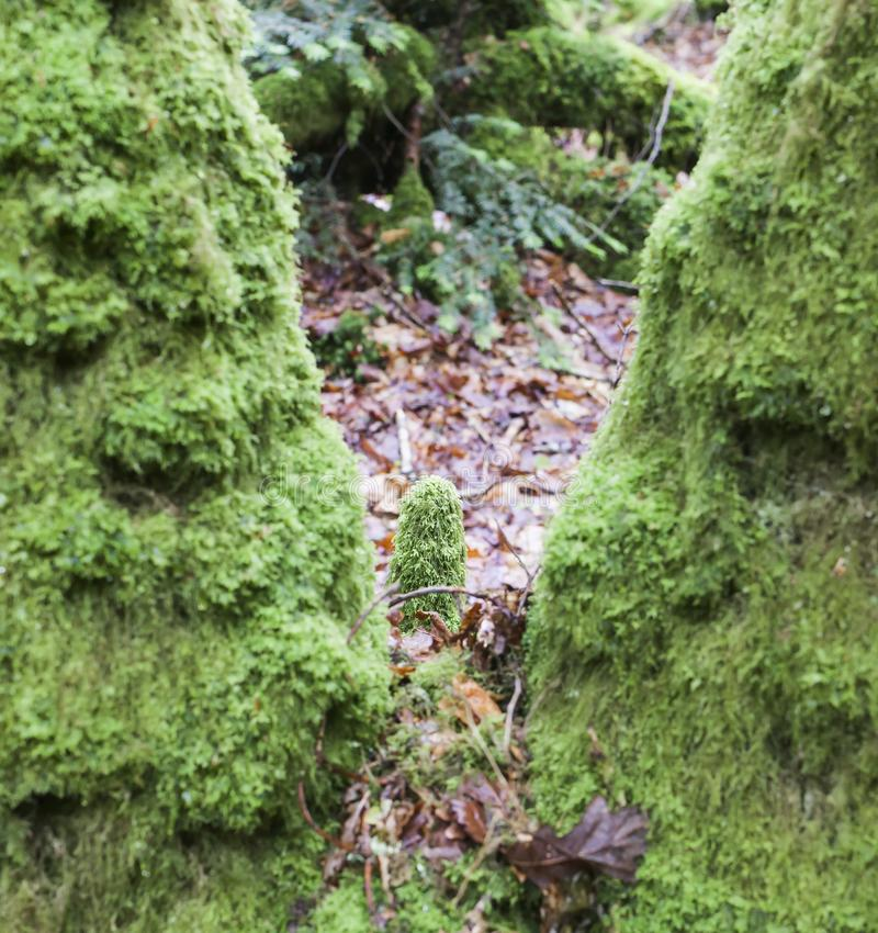 Détail vert profondément dans la forêt célèbre d'héritage de Huelgoat en Bretagne, France image stock
