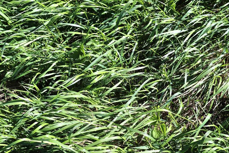 Détaillé étroitement vers le haut de la vue sur l'herbe verte et les prés avec quelques petites fleurs rentrées été photographie stock libre de droits