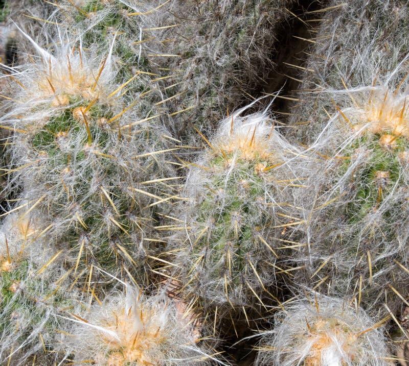 Détails, cactus de regard velu photo stock