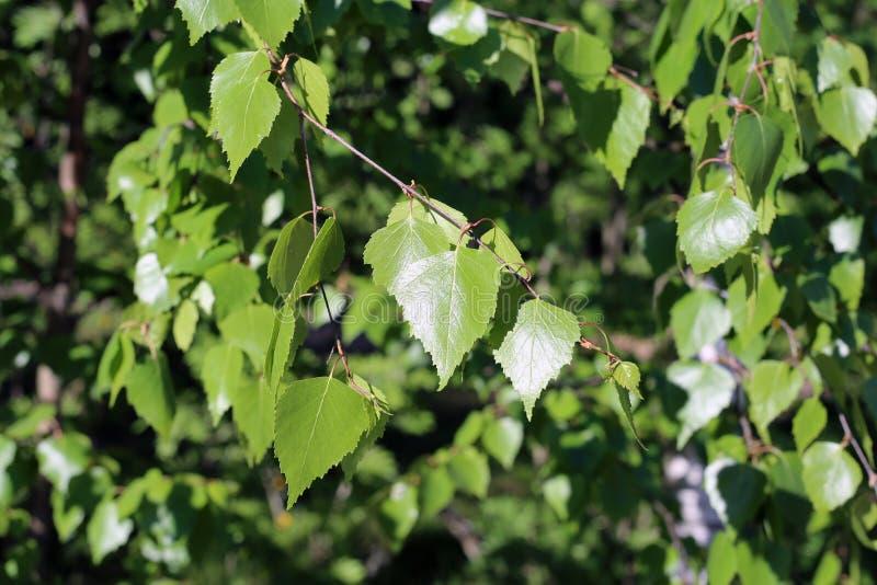Détails d'arbre de bouleau : Feuilles, branches et tronc verts photos stock