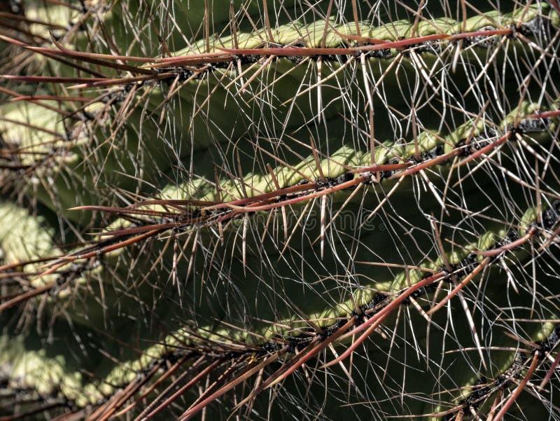 Détails de cactus de baril photos libres de droits